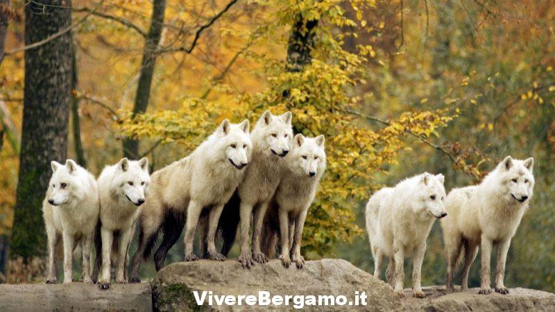 Unita' nel branco di lupi